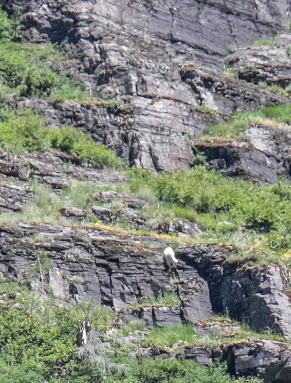 goat downhill-9232