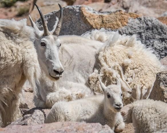 goat-kid-1860-