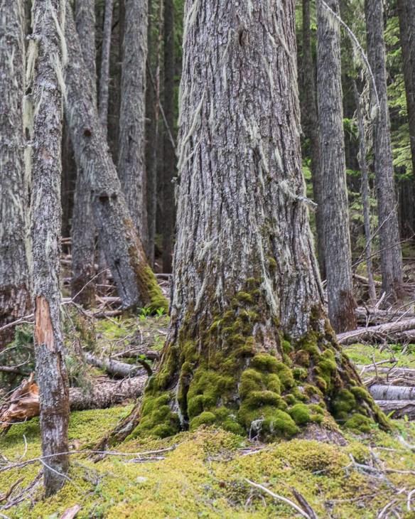 moss tree-9315