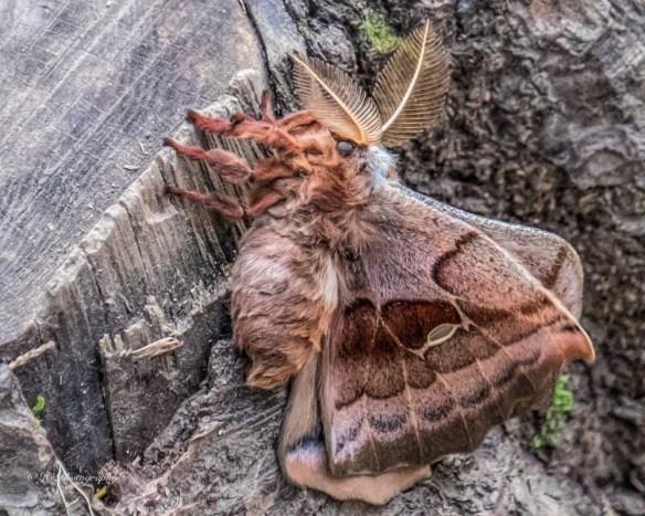 polyphemus moth-9381-
