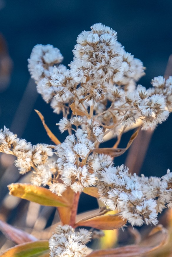 pearly-everlasting-6992