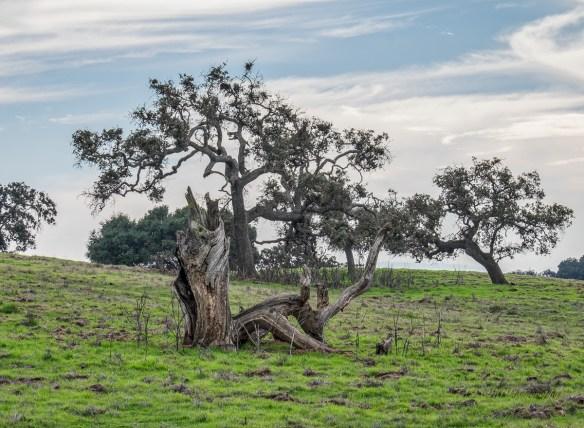 2-old-oaks