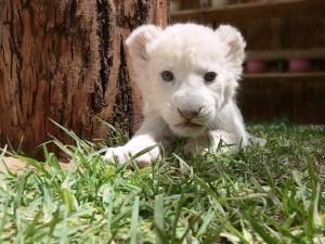 lion-219846_640