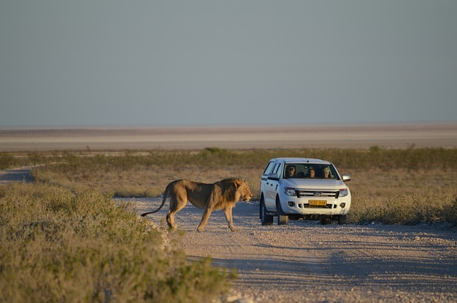 Etosha Pfanne, Löwe, Safari
