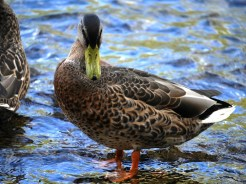 Ente/Duck