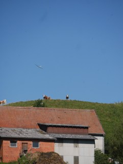 Kühe über dem Dach