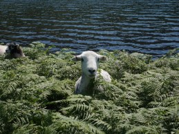 Schaf im Farn / Sheep in the ferns