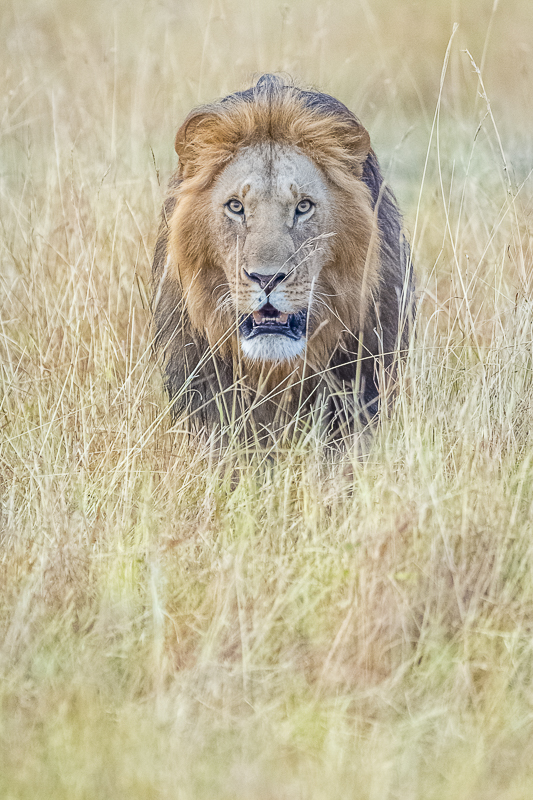 Wild Expressions Photo Tours & Safaris Lion in long grass in Kenya