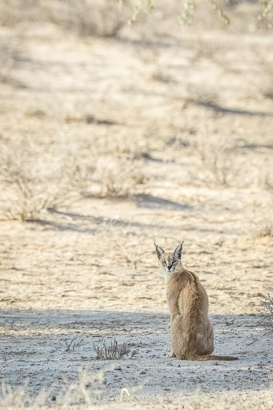 Caracal looking at camera Predators and Wildlife Kgalagadi Photo Safari