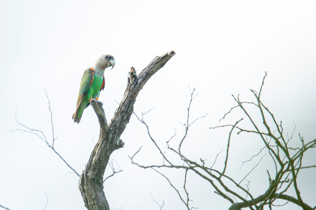 Pafuri Luxury Tented Camp image of a grey headed parrot