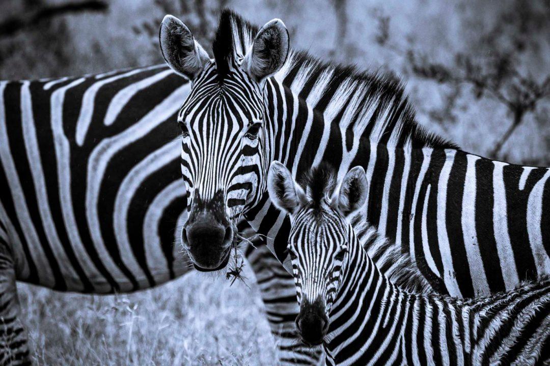 Skukuza Safari Lodge and Private Safari monochrome image of a ZEBRA