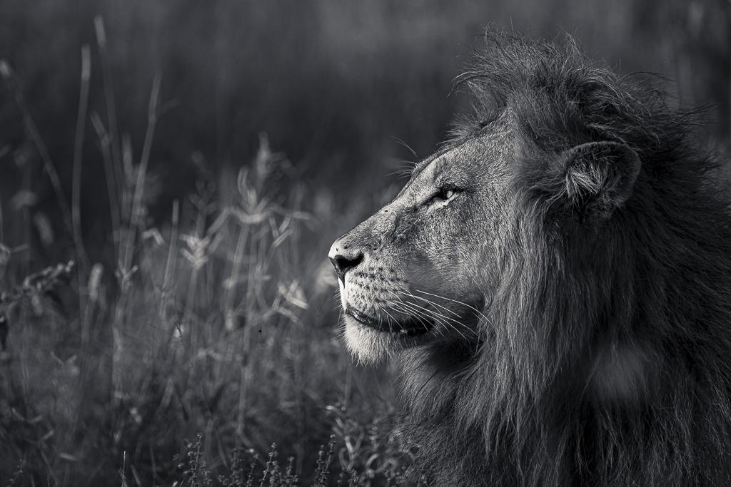 Skukuza Safari Lodge bush break - African Lion