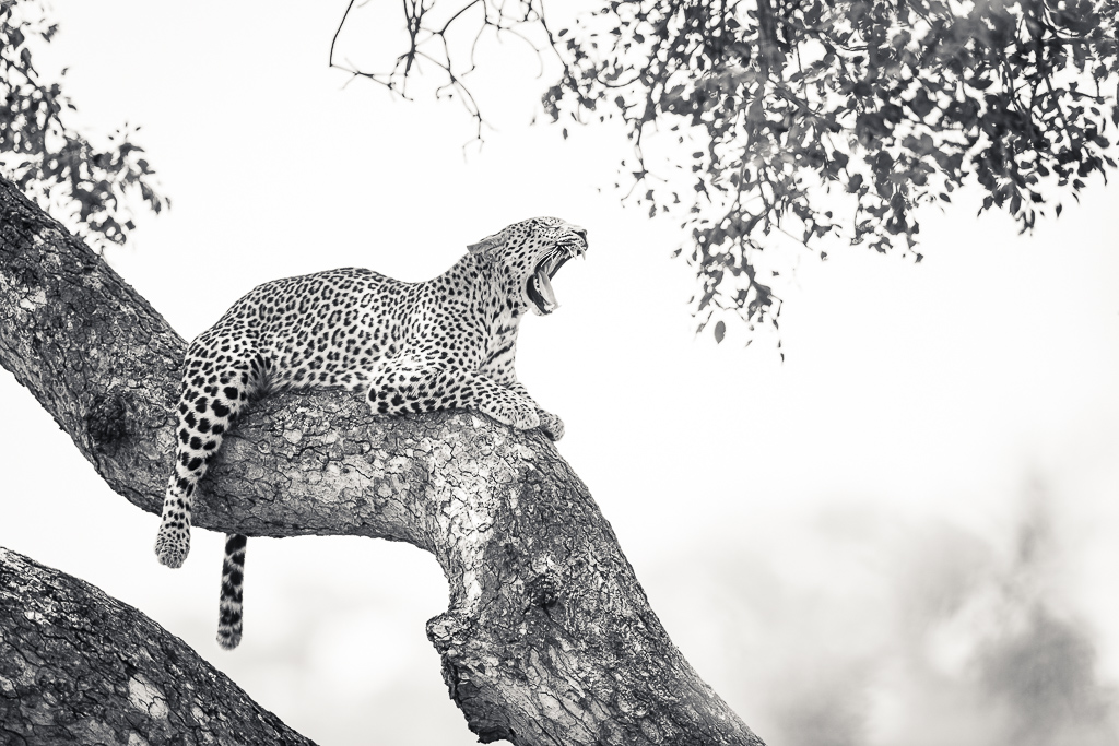 Skukuza Safari Lodge bush break - Leopard in a tree