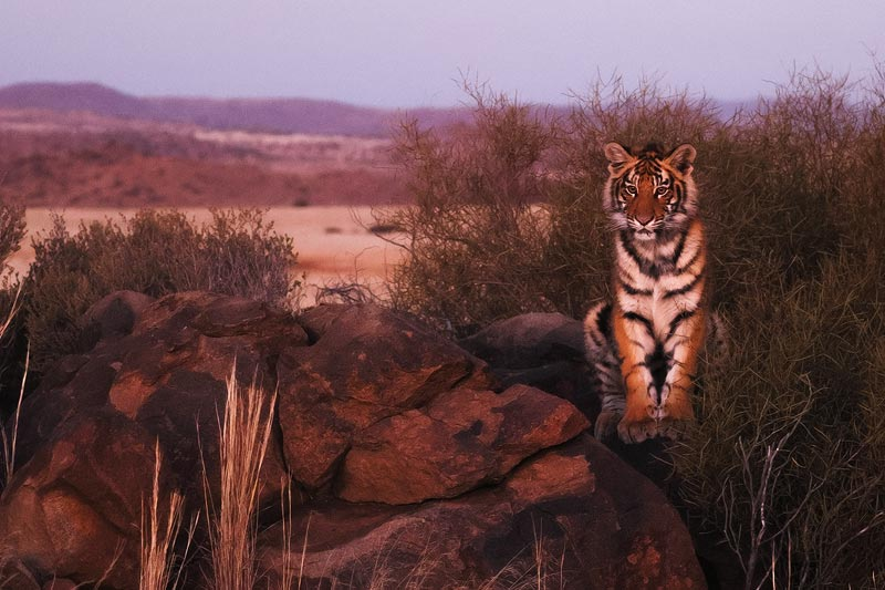 Tiger Canyon - Tiger Cub in the Blue Hour