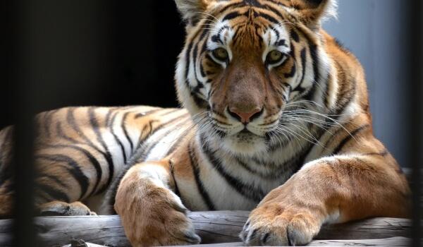 Сурет: Қызыл кітаптан Amur Tiger