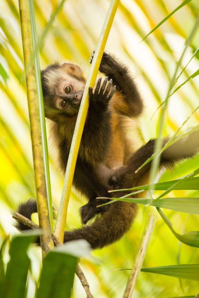Capuchin monkey in the rainforest