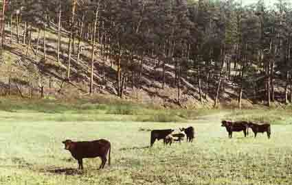 Cattle and Deer Graze Together