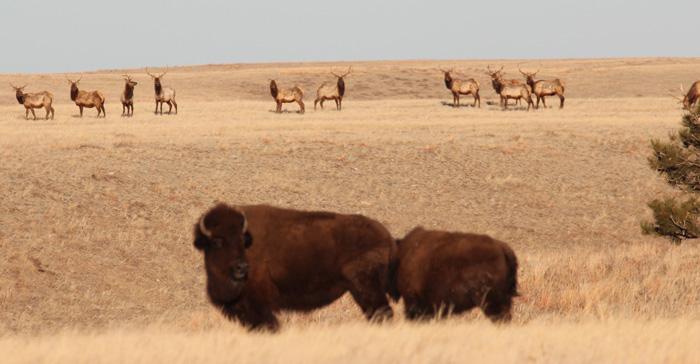 Elk in Wind Cave National Park