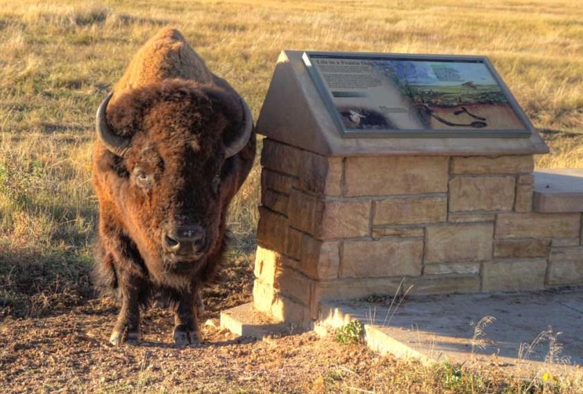 bison Wind Cave National Park