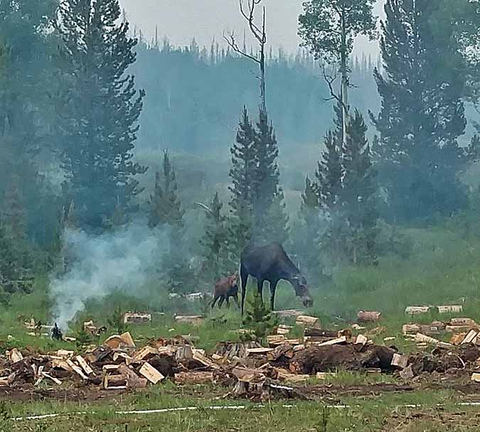 Beaver Creek Fire moose