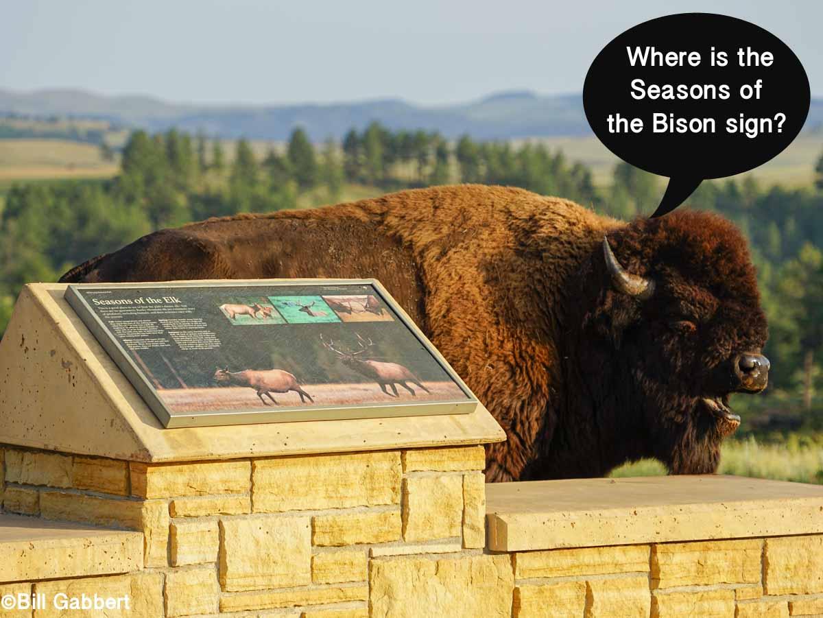 Confused bison