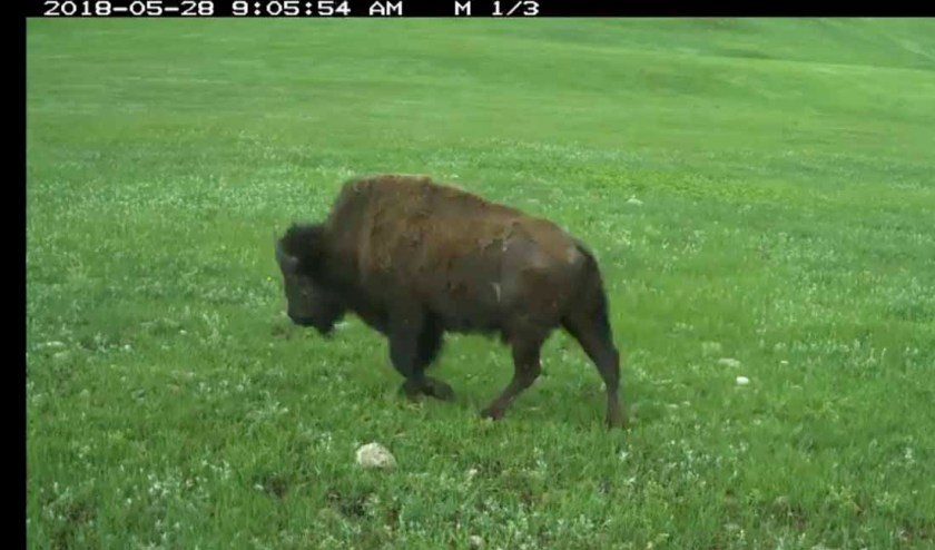 bison trail cam fire