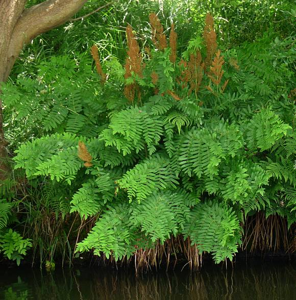 Where Grows Fern Wild