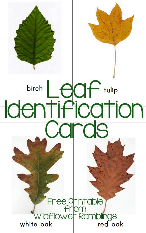 Fall Leaves And Their Names