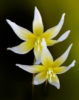 Fawn-Lily-Pair