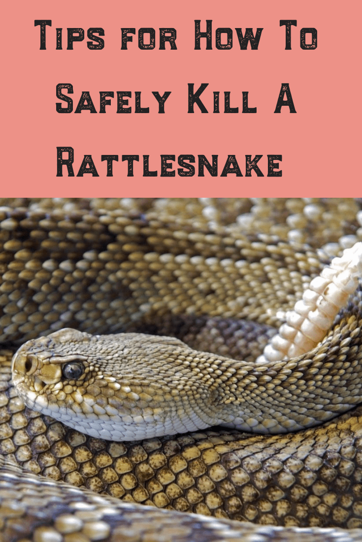 When it comes to rattlesnakes, safety first is always the most important rule. Prevention of bites and eliminating the problem is vital. Follow these tips whenever you see a rattlesnake lurking on your property! Beware they especially like hiding in timber! #rattlesnake #safety #bite #head #tail #safe #kill #remove #prevent
