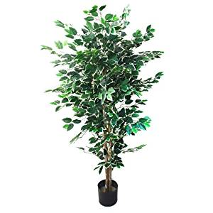 Ficus Tree Indoor House Plant