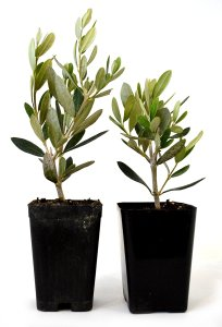 Olive Tree Indoor Plant