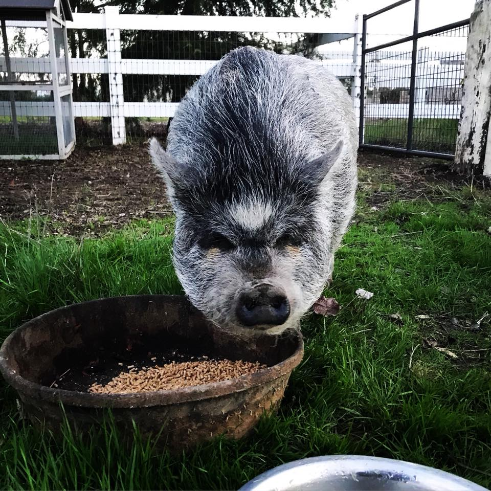 mini pig eating food