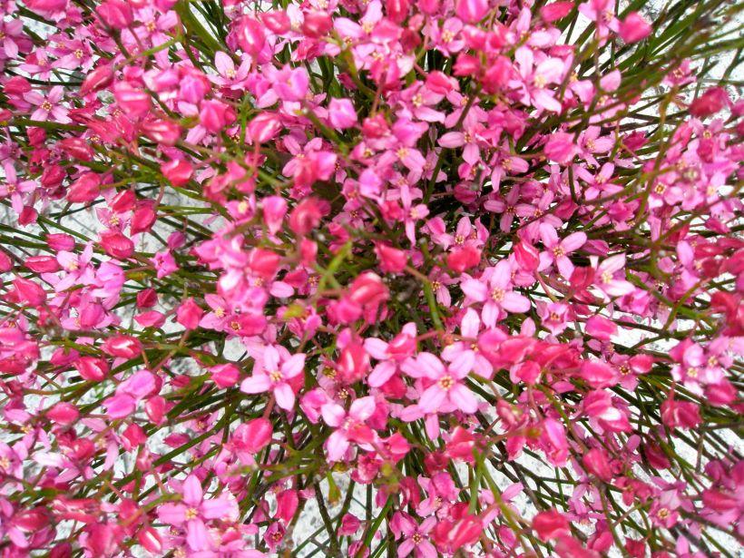Boronia Flower Code