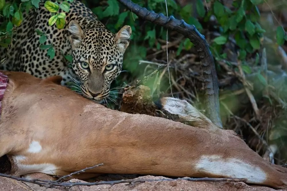 Leopard on impala kill