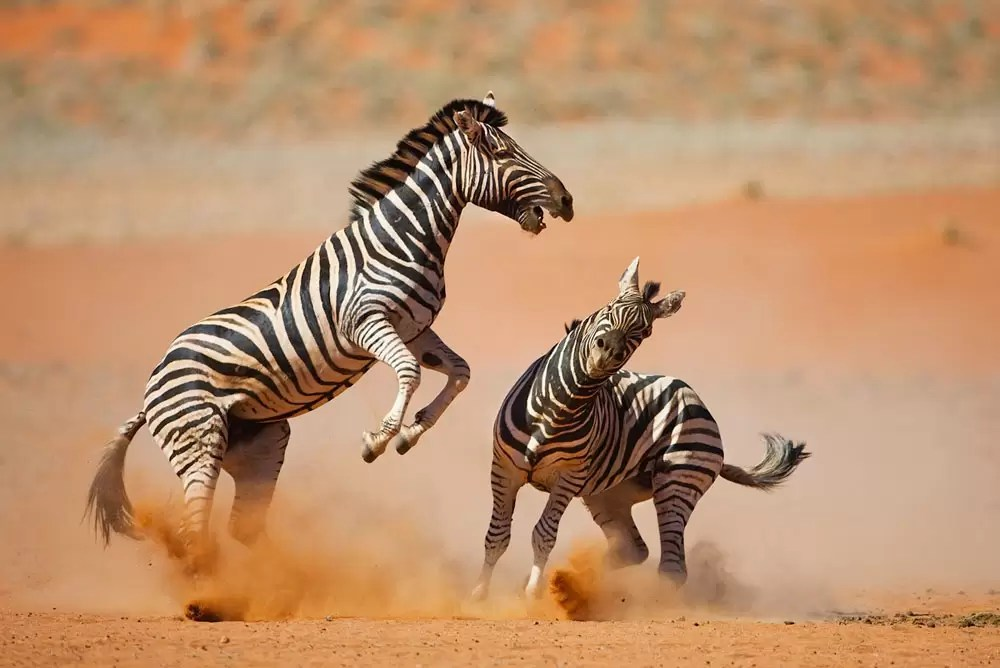 Zebras stallions fighting