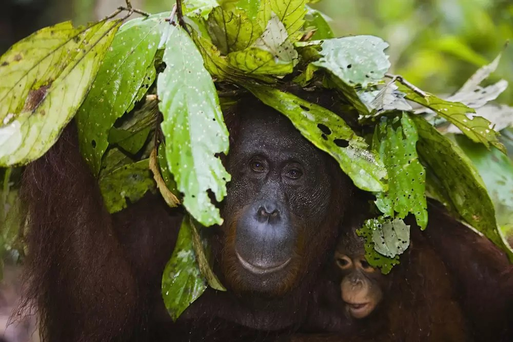 Orangutan mother with baby in rain