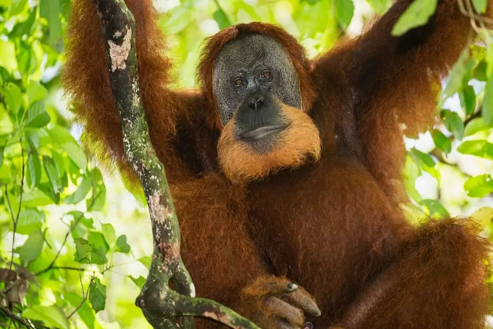 A critically endangered male orangutan quietly rests in a tree