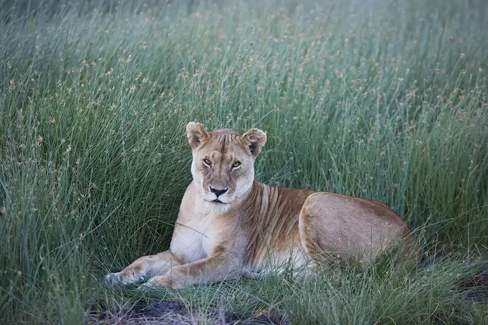 Lioness resting in tall grass, Ndutu, Ngorongoro Conservation Area
