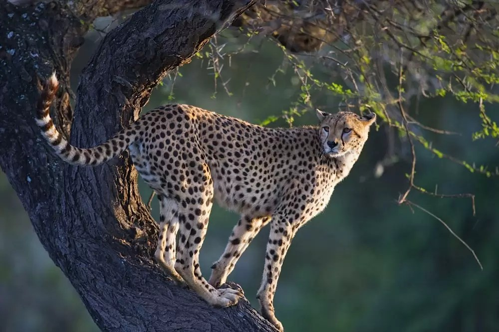 Female cheetah in tree looking out for prey, Ndutu, Ngorongoro Conservation Area