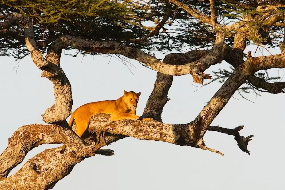 Lioness in tree, Ngorongoro Conservation Area, Ndutu