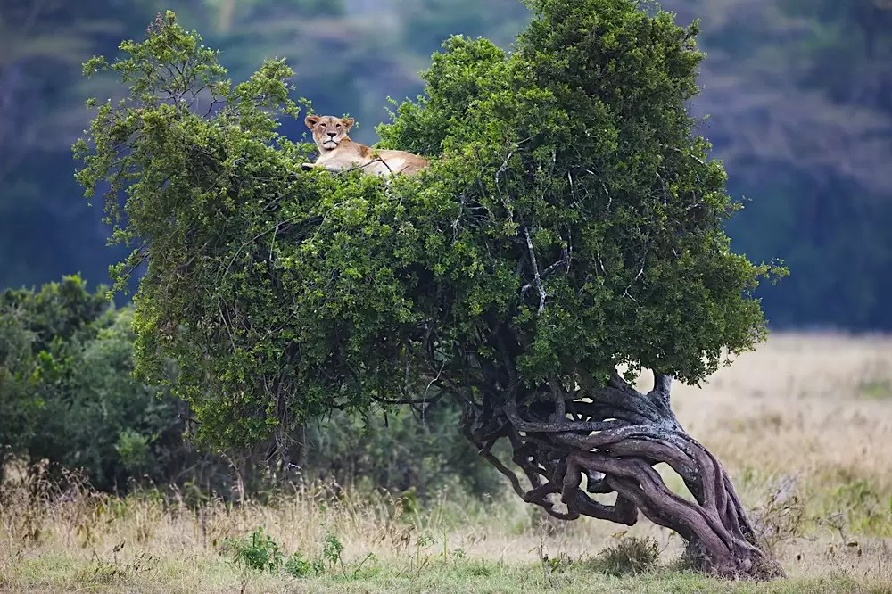 Kenya, Nakuru; lioness resting on top of tree