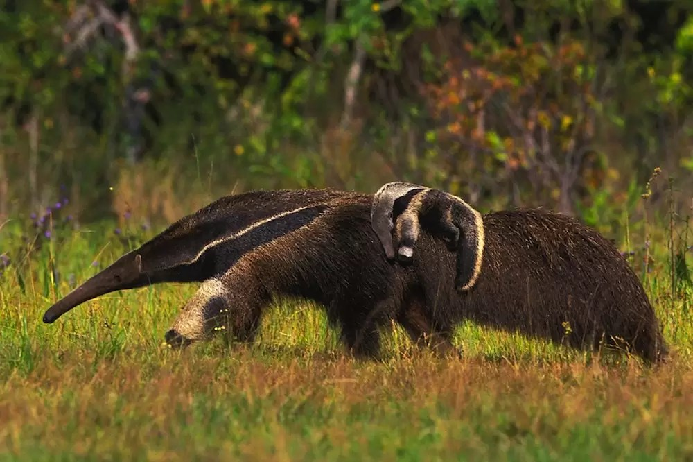 Giant anteater walking in grassland, carrying baby anteater on its back