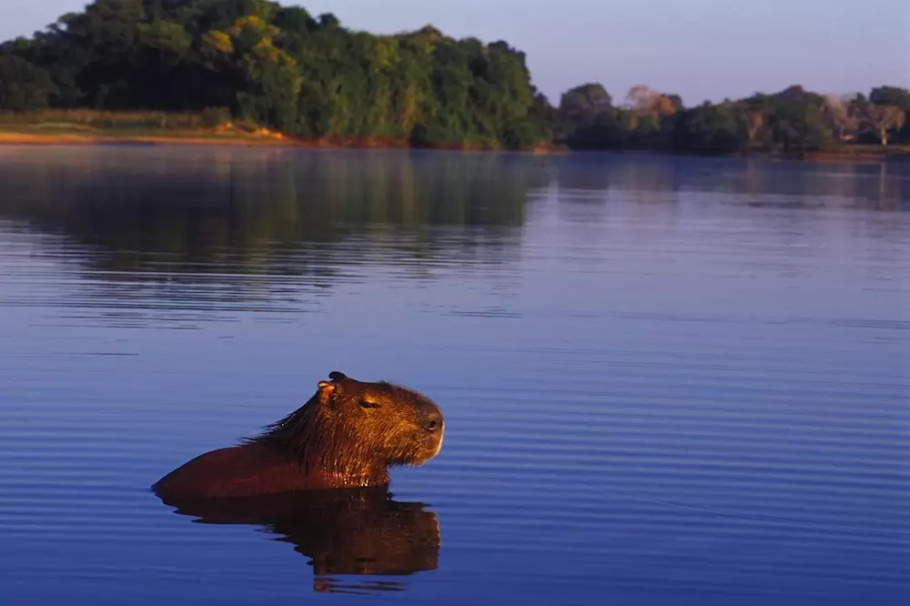 Male capybara (Hydrochaeris hydrochaeris) resting in lagoon at sunrise