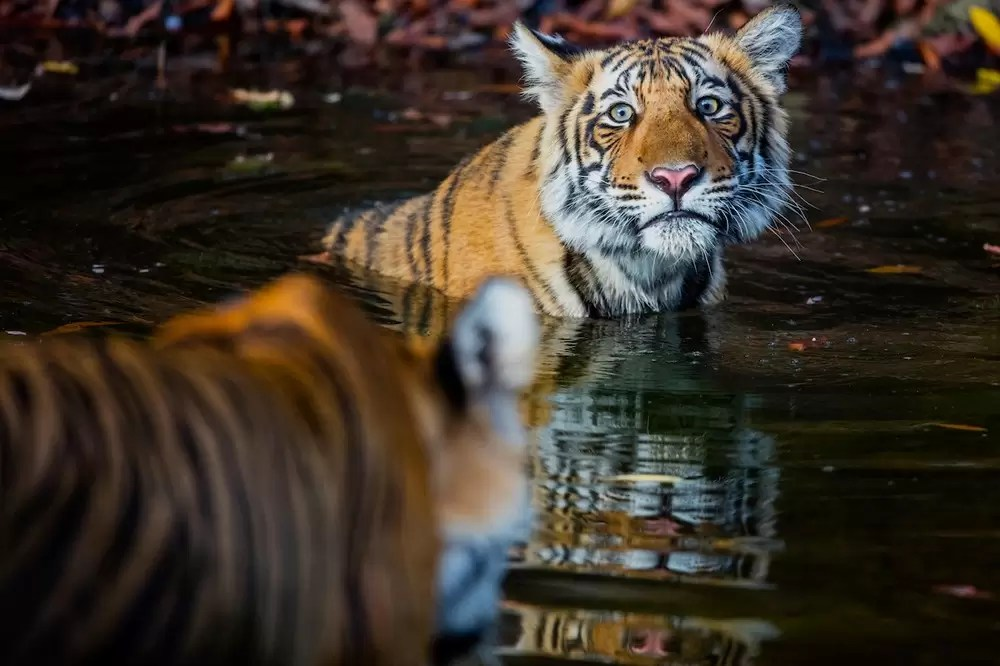 Bengal tigers in waterhole