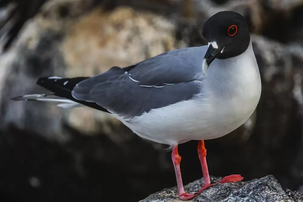 The bright red outline of the Swallow-tailed gull's eye stands out
