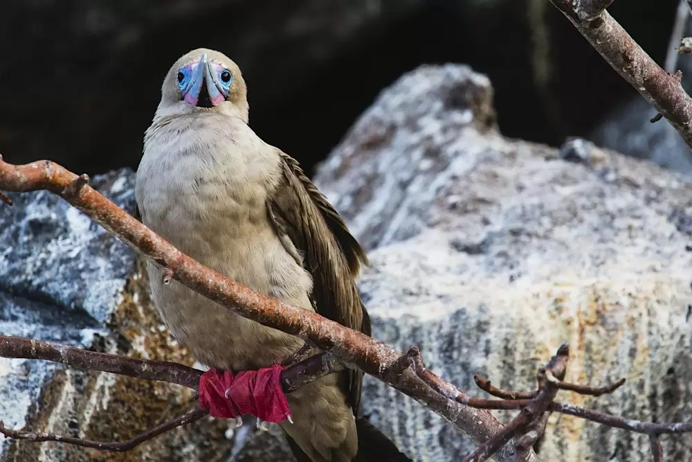 The bright red feet stand out on a Galapagos red-footed booby resting on a branch of a tree
