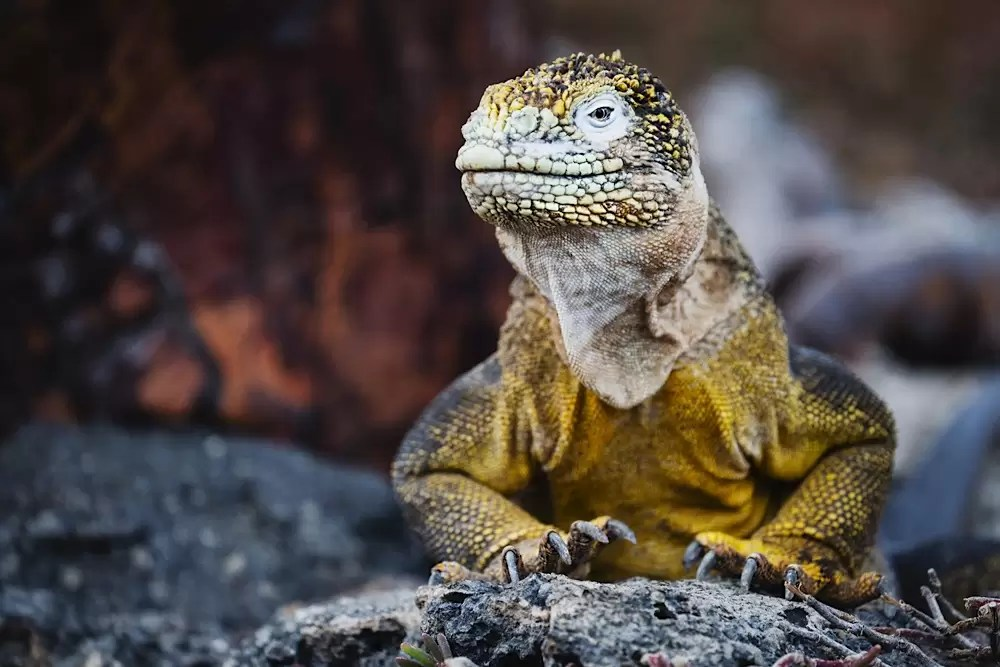 A portrait of a colorful Land Iguana