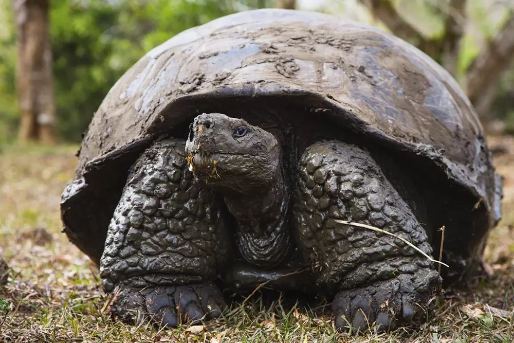 A muddy Galapagos Giant Tortoise
