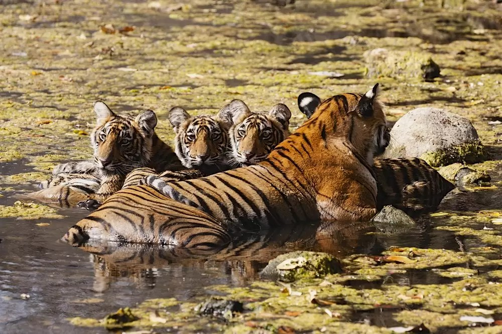 A Bengal tigress with cubs laying in a water hole